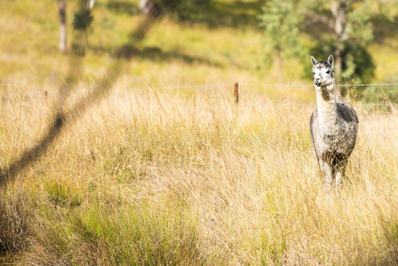 Alpaka an sich auf einem Gebiet stockfotos