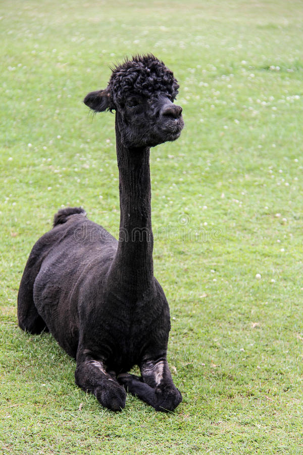 Alpaka und Lama mit lustiger Frisur lizenzfreie stockfotografie