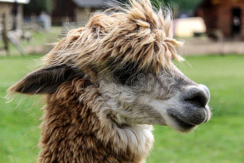 Alpaka und Lama mit lustiger Frisur stockbild