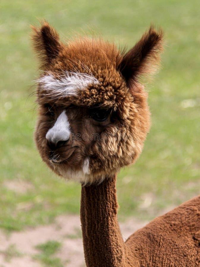Alpaka und Lama mit lustiger Frisur lizenzfreies stockbild