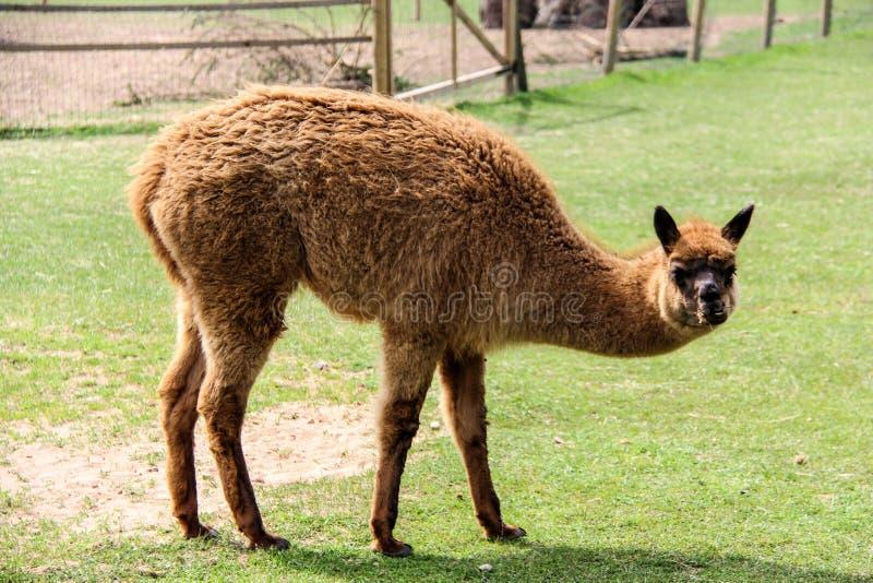Alpaka und Lama mit lustiger Frisur stockfoto