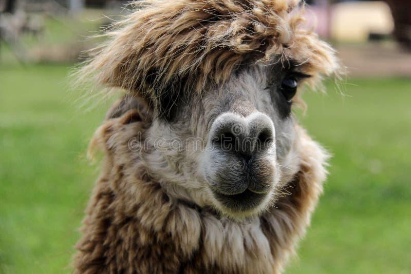 Alpaka und Lama mit lustiger Frisur stockbilder