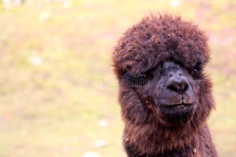 Alpakabauernhof auf dem Weg zum Regenbogen-Berg lizenzfreie stockfotos