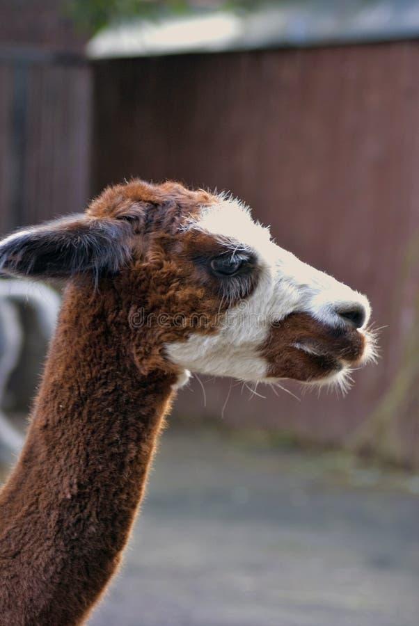 Alpakahauptporträt lizenzfreie stockbilder
