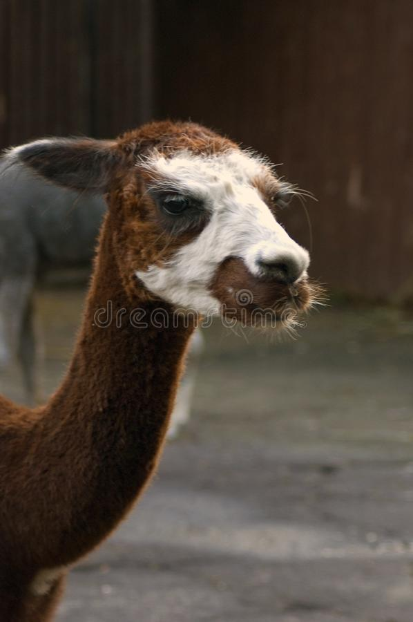 Alpakahauptporträt stockfoto