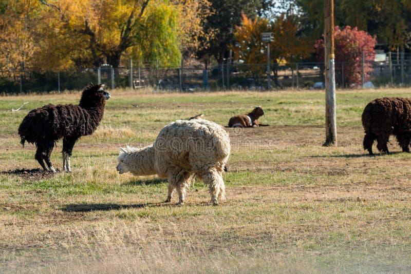 Alpaki pełne wełny i kóz wypasanych w pobliżu Terrebonne obrazy stock