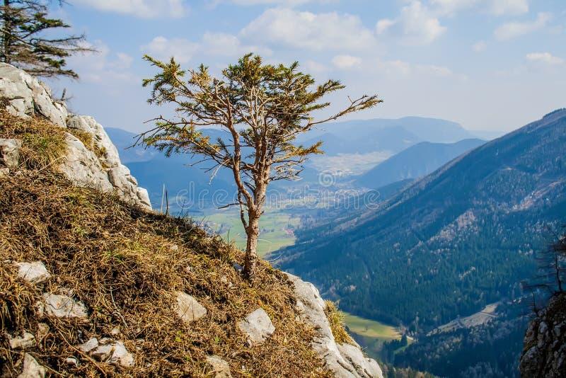 Alpejscy bonsai zdjęcia royalty free