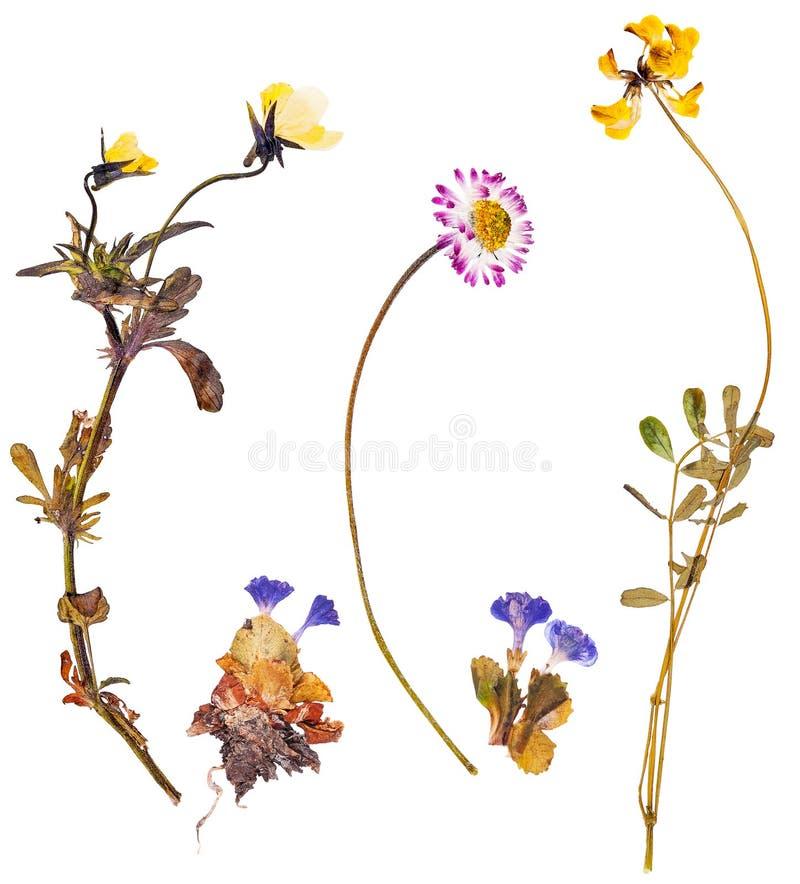 Alpejscy kwiaty obraz royalty free