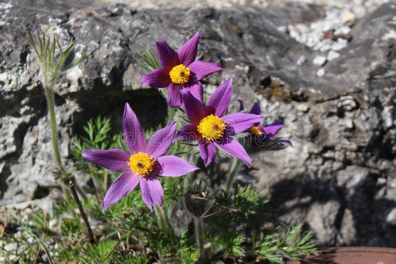 Alpejscy Pasque kwiaty (Pulsatilla Halleri) zdjęcie stock