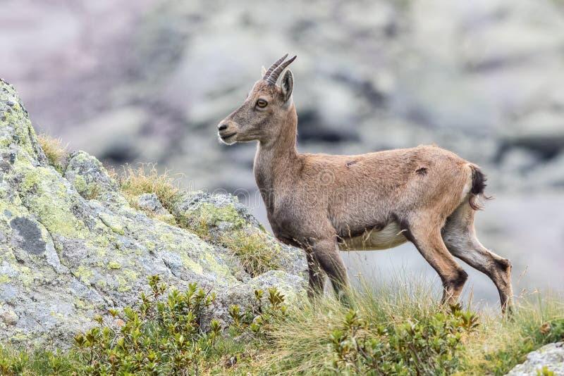 Alpejska koziorożec zdjęcie royalty free