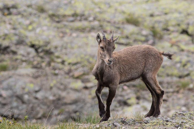 Alpejska koziorożec zdjęcie stock