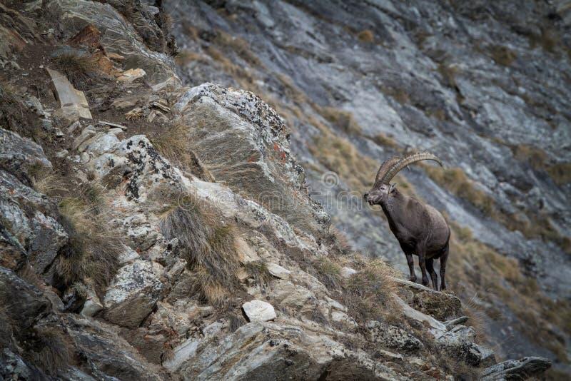 Alpejska koziorożec, Capra koziorożec z skałami w tle, park narodowy Gran Paradiso, Włochy Jesień w górze fotografia royalty free