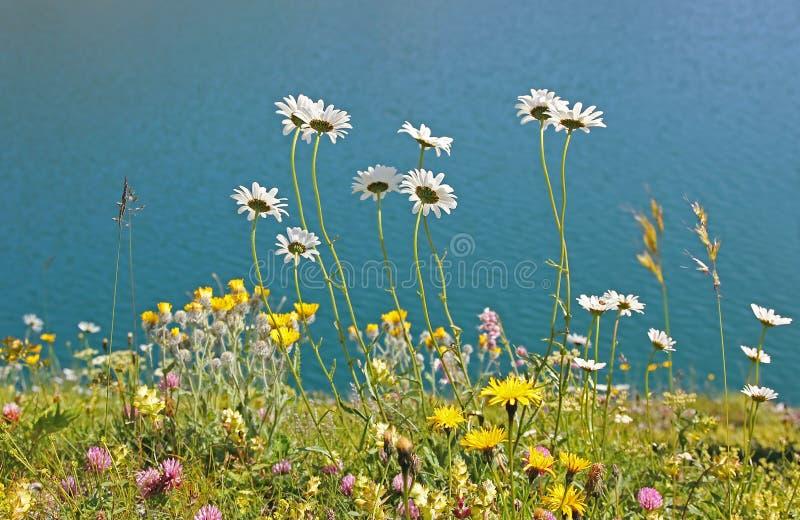 Alpejska kwiat łąka przy jeziornym brzeg lunersee, Austria zdjęcie stock