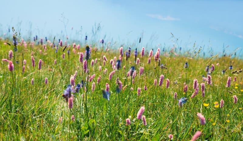 Alpejska lato kwiatu łąka fotografia stock