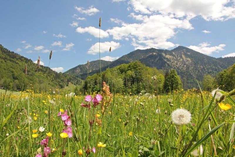 Alpejska wildflower łąka, bavaria obraz royalty free