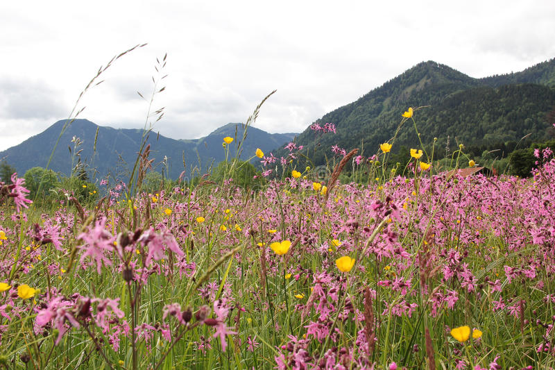 Alpejska wildflower łąka z lychnis i jaskierami, Germany obraz royalty free
