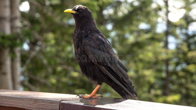 Alpejski kaszlowy ptasi obsiadanie na poręczu obrazy stock