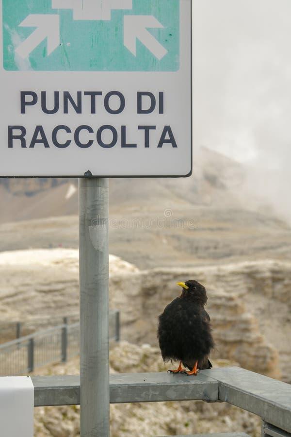 Alpejski kruka czekanie przy miejsce spotkania dla innych kruków ar obraz royalty free