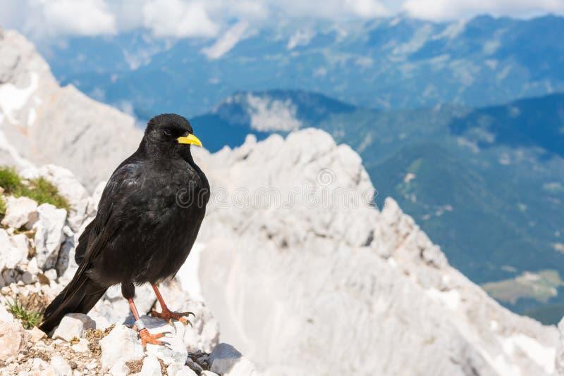 Alpejski kruka obsiadanie na skale zdjęcie royalty free