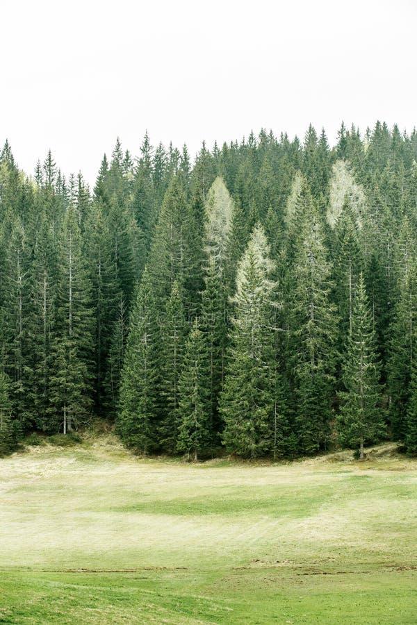 Alpejski paśnik i zdrowy las iglaści drzewa obraz royalty free