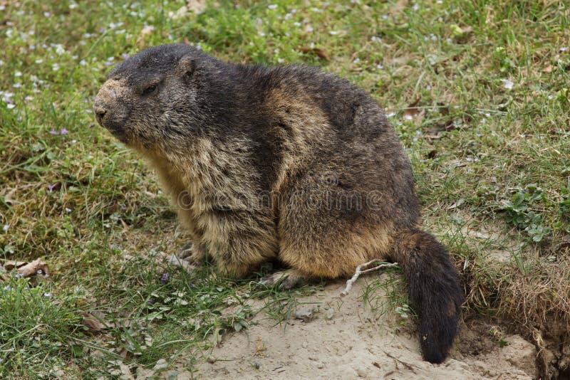 Alpejski ?wistaka Marmota marmota obraz royalty free