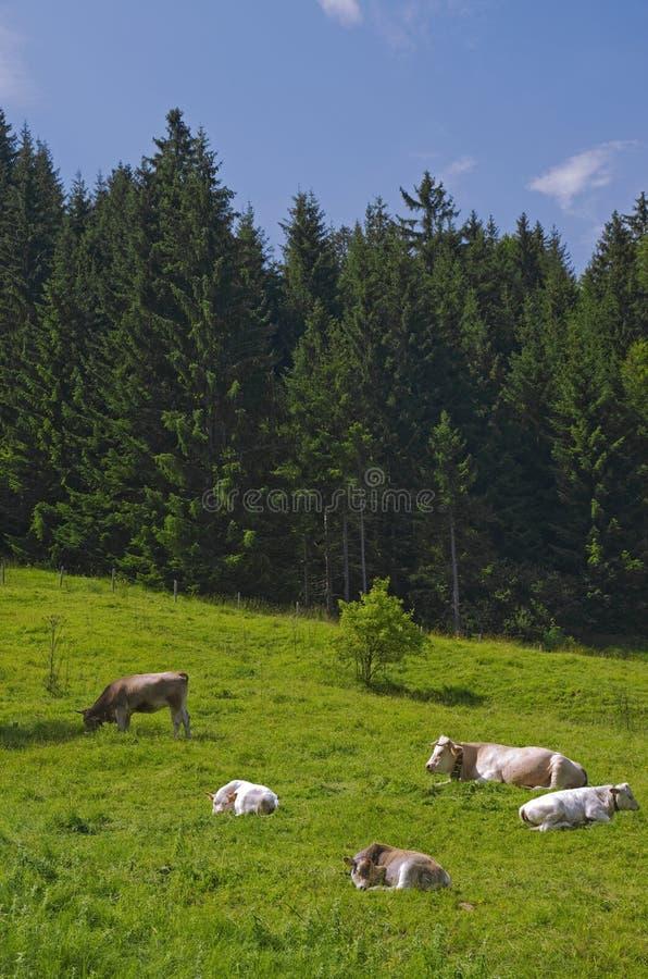 Alpejskie łąkowe krowy obraz royalty free