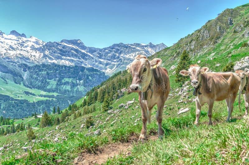 Alpejskie krowy w paśniku w górach zdjęcie royalty free