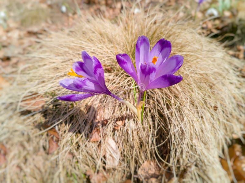 Alpejskiego krokusa kwiatu sativus okwitnięcie na górach Świezi piękni purpurowi szafranów kwiaty Kwiatonośny krokus w wczesnej w zdjęcie royalty free