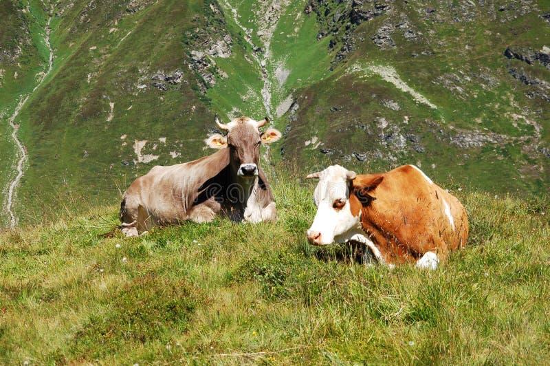 Alpen-Kühe lizenzfreie stockbilder