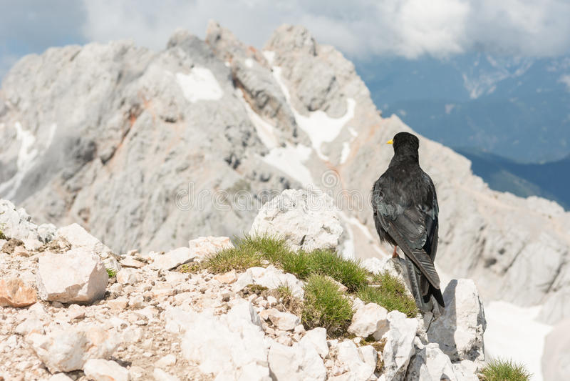 Alpendohle, die auf einem Felsen sitzt stockbild