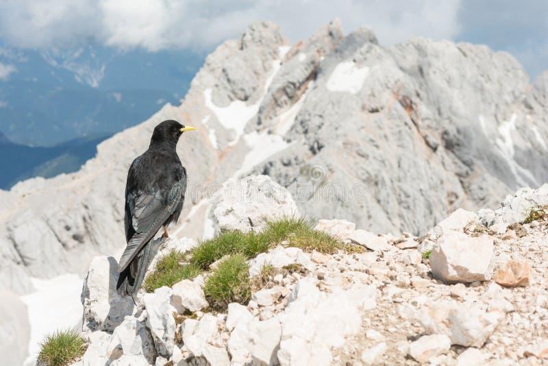 Alpendohle, die auf einem Felsen sitzt lizenzfreies stockfoto