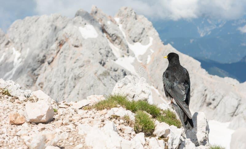 Alpendohle, die auf einem Felsen sitzt lizenzfreie stockfotos