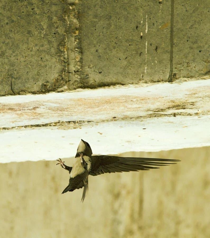 Alpengierzwaluw, rapide alpin, melba de Tachymarptis image libre de droits