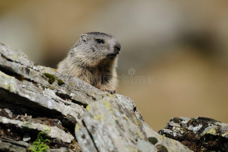 Alpenmurmeltier (Marmota Marmota) Lizenzfreie Stockfotografie