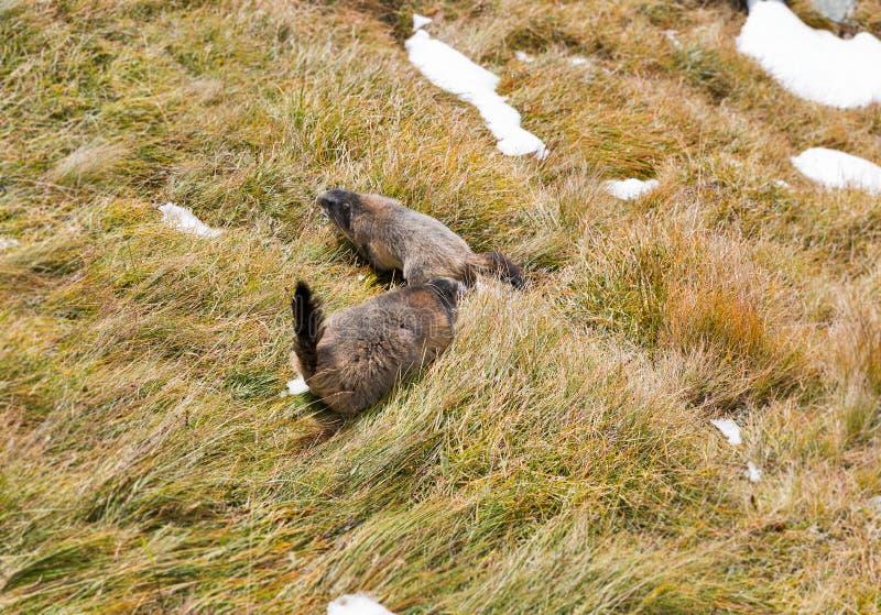 Alpenmurmeltiere auf Herbstberghang lizenzfreie stockfotos