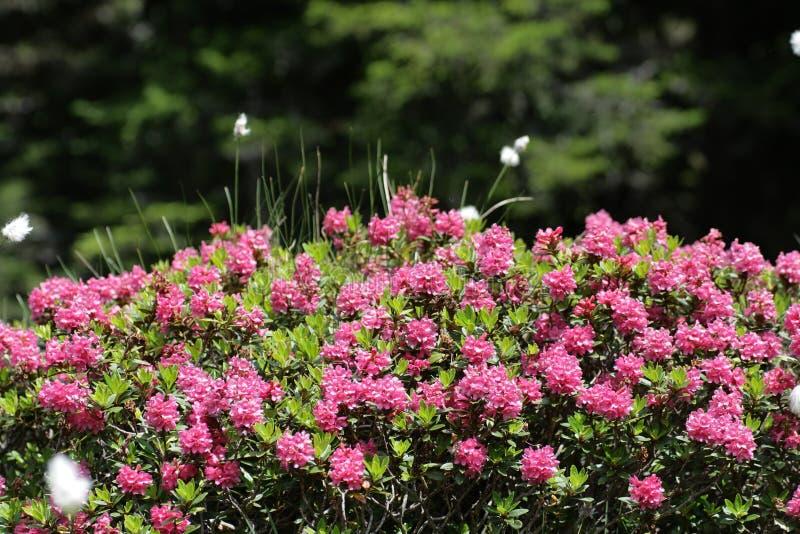 alpenrose royaltyfria foton