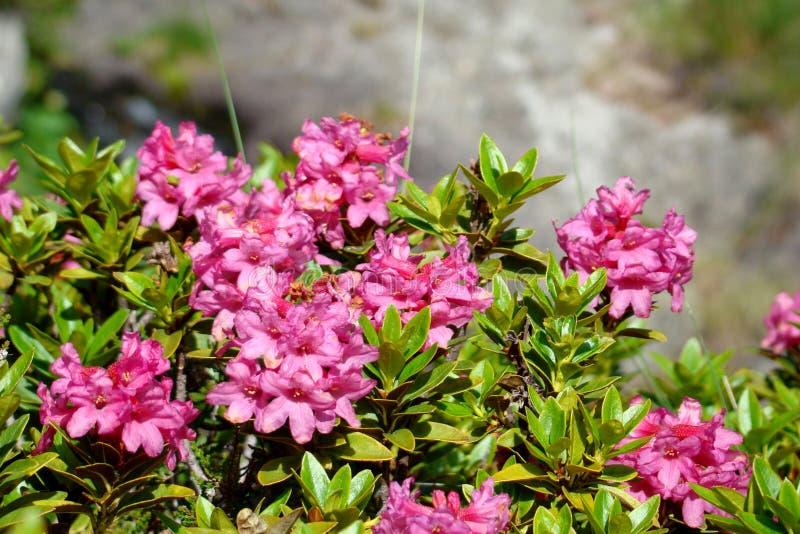 Alpenrose royaltyfria bilder