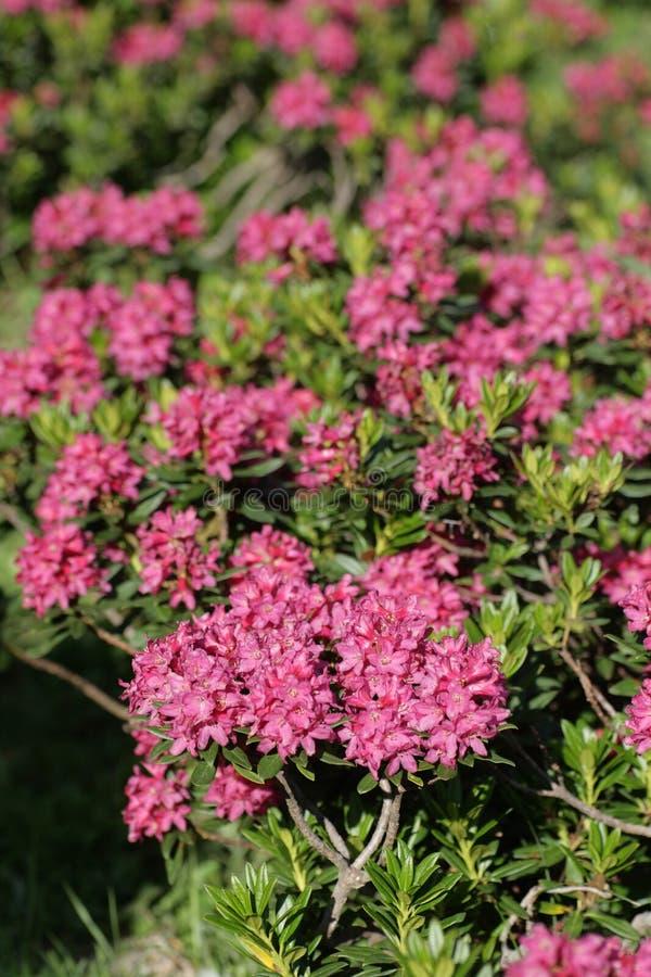 Alpenrose blomma arkivfoto