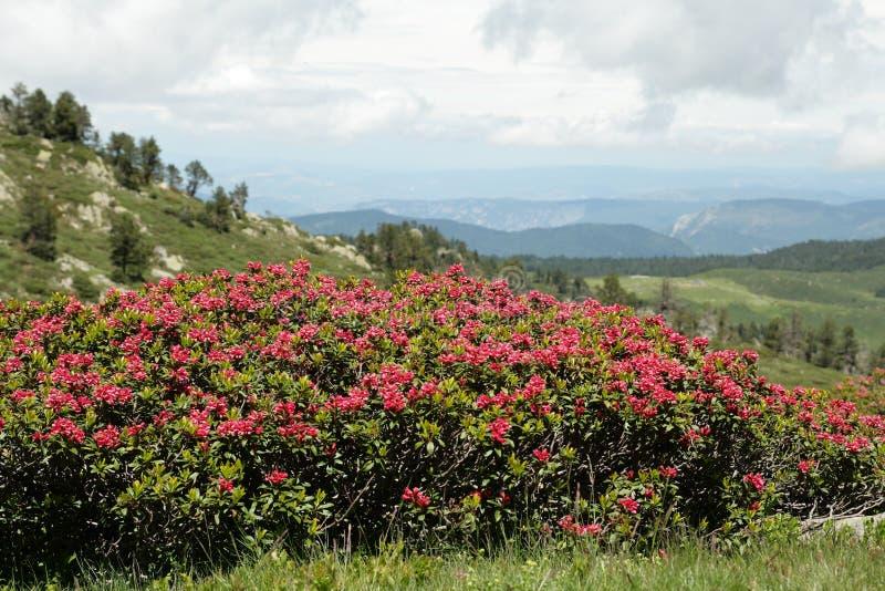 Alpenrose blomning i Pyrenees, Frankrike arkivfoton