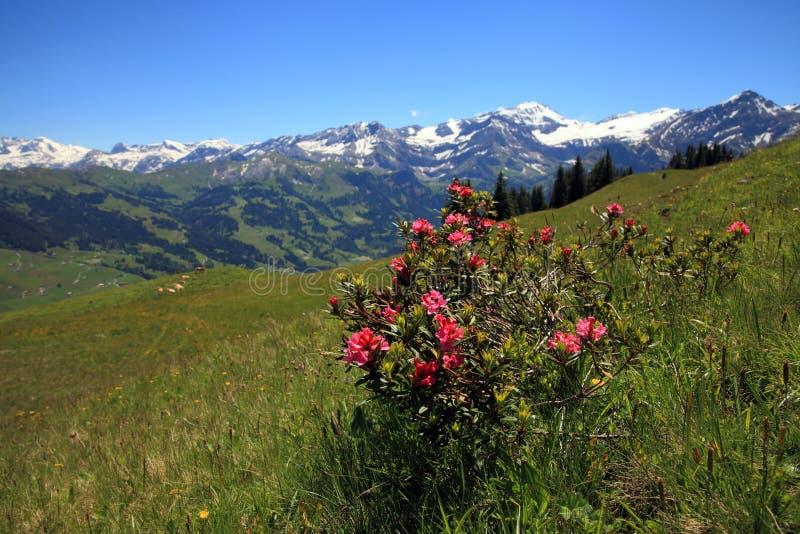 Alpenroseinstallatie royalty-vrije stock afbeeldingen