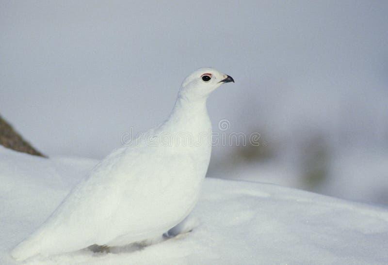Alpenschneehuhn im Schnee stockfoto