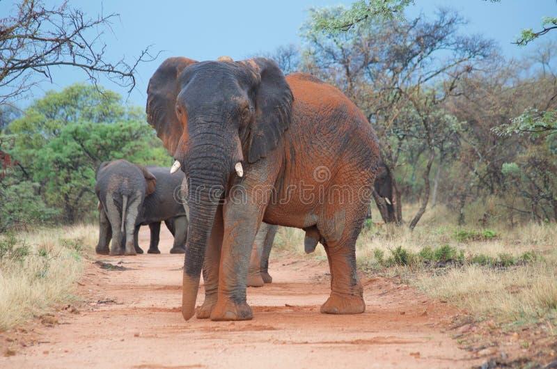 Alpha d'éléphant photographie stock libre de droits