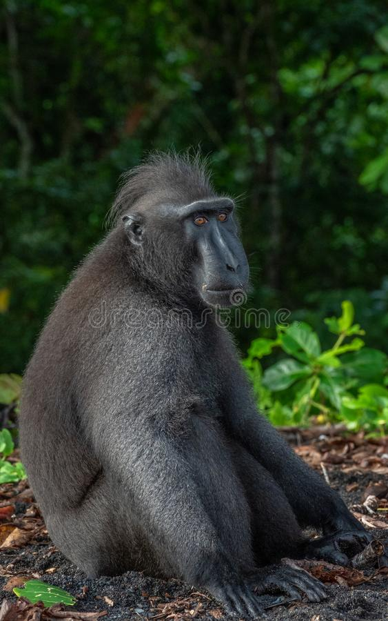 Alpha male Sulawesi crested macaque. Macaca nigra, of Rambo 2 troop. Tangkoko Jungle Reserve, North Sulawesi, Wonderful Indonesia royalty free stock image