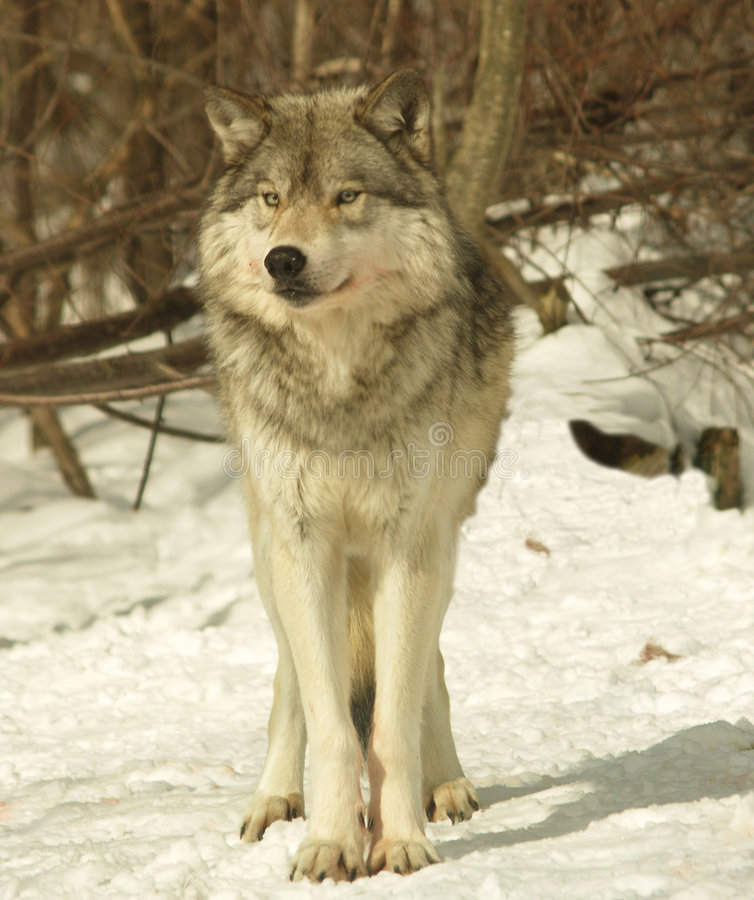 Alpha male wolf, Canada. Alpha male wolf, Algonquin Park, Canada royalty free stock photo