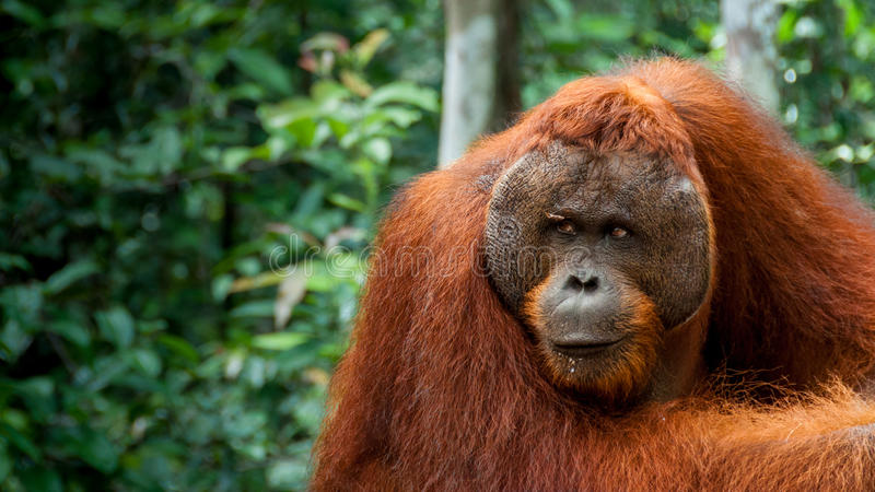 Alpha- mannelijke Orangoetan in Borneo royalty-vrije stock foto