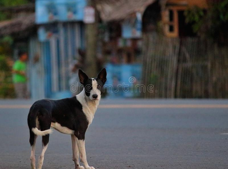Alpha street dog stock photography