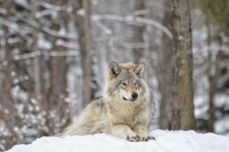 Alpha Timber-wolf stock fotografie