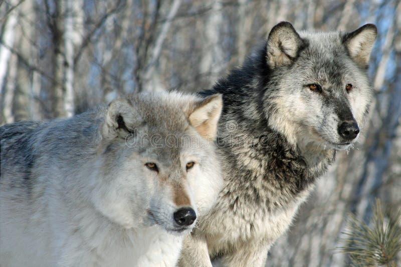 Alpha Wolves arkivfoto