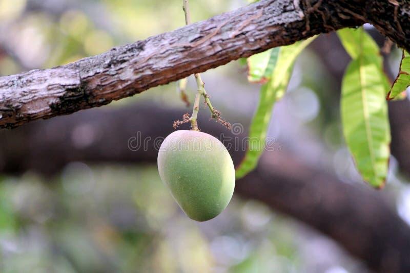 Alphonso Mango - Haapus fotos de stock royalty free