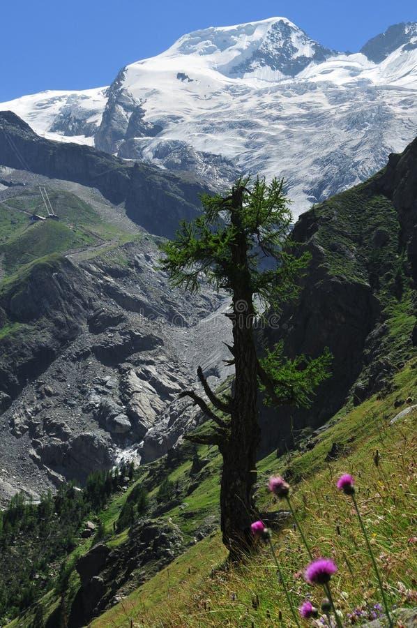 Alphubel dans les Alpes suisses et le mélèze solitaire photographie stock